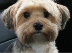 Learn all about the Maltese Yorkie mix or Morkie. Find out what real owners of Morkie dogs have to say and view adorable Morkie pictures. Yorkies, Maltese Yorkie Mix, Havanese Puppies, Yorkie Puppy, Terrier Puppies, Maltipoo, Poodle Puppies, Poodle Mix, Havanese Grooming