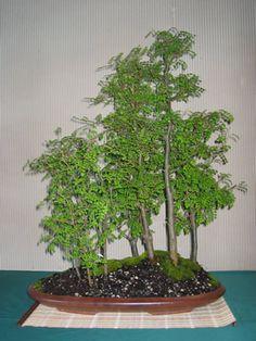 New Zealand Bonsai Association Bonsai Plants, Bonsai Garden, Bonsai Trees, Trees And Shrubs, Trees To Plant, Bonsai Forest, Mini Bonsai, Miniature Trees, Rare Plants