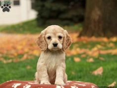 Cocker Spaniel puppies for sale! The Cocker Spaniel is a gentle, friendly, & outgoing dog breed that's great with children and is a good fit for families. Cocker Spaniel For Sale, Cocker Spaniel Breeds, American Cocker Spaniel, Clumber Spaniel, Spaniels, Kittens And Puppies, Cute Puppies, Cute Dogs, Bulldog Puppies