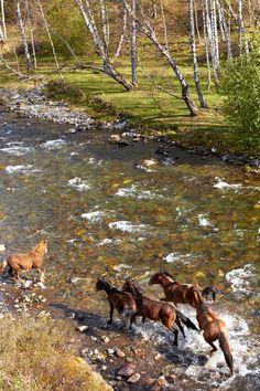 Wild Mustangs on the Run..