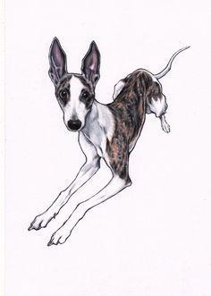 WHIPPET ART. Lulu whippet. 8 x 11 inches, colour pencil on white paper. https://www.etsy.com/shop/JimGriffithsArt?ref=hdr_shop_menu