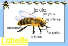 cheznounoucricri - Page 123 Grade 2 Science, Science Biology, Bee Activities, Vocabulary Instruction, French Kids, French Classroom, Bee Theme, Teaching French, Preschool Kindergarten