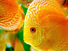 yellow discus fish - Google Search