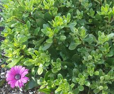 African Daisy survived winter...it is about to explode with many many blooms it's not even March yet.