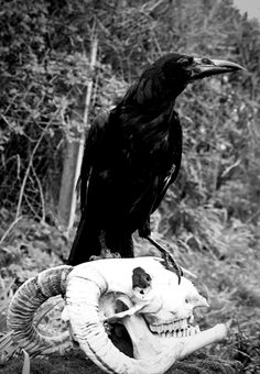 The stuff of classic horror, a crow on a skull XD Crow is Pod the Rook Skull is a sheep skull Classic Horror The Crow, Quoth The Raven, The Ancient Magus, Raven Art, Jackdaw, Crows Ravens, My Demons, Skull And Bones, Memento Mori