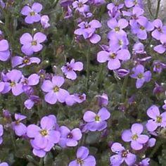 Vivace persistante (0,1m) idéal en rocaille et couvre-sol. Floraison bleue au printemps.