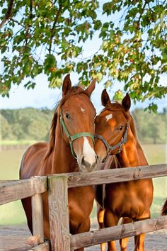 Wallmonkeys Two Horses in Paddock Peel and Stick Wall Decals in H x 24 in W) ** Learn more by visiting the image link. (This is an affiliate link) Two Horses, Cute Horses, Horse Love, Most Beautiful Horses, All The Pretty Horses, Animals Beautiful, Farm Animals, Animals And Pets, Cute Animals