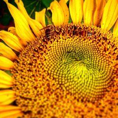 #bees #sunflower #summer #summ