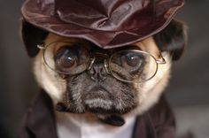 Since Join the Pugs bring the cuteness to Pug lovers all over the world. If you love Pugs. Funny Pug Pictures, Pug Photos, Adorable Pictures, Pugs In Costume, Pet Costumes, Pug Facts, Amor Pug, Funny Animals, Cute Animals