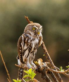 The Pearl-Spotted Owlet prefers to sing from exposed perches, often from the tops of bushes or trees. Owl, Trees, Pearl, Bird, Animals, Animales, Bead, Animaux, Owls