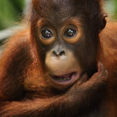 Orang Utan by toonman blchin on 500px