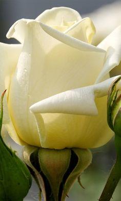 rose, flower, buds, drops, close-up