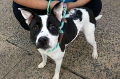 01/15/2017 **PUPPY RETURNED** Super Urgent Manhattan NYC ADOPT STYX - #A1094287 SPAYED FEMALE WHITE/BLACK POINTED MIX, ONLY 10 months old, Intake 01/12/17, past Due Out date 01/13/17 - TENSE AND NERVOUS BUT ALLOWED HANDLING, timid at first then affectionate and loving, loves belly rubs and playing with a tennis ball, can you win the love and trust of a timid little girl and gain a best friend?