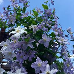 Nothing prettier than clematis in early summer.  Blue Angel Clematis, hardy to zone 4