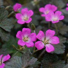 G ranium vivace double blanc achat vente plantes vivaces for Achat plantes vertes en ligne