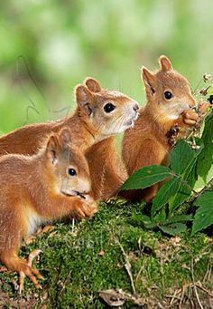 Sibling red squirrels