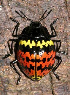 Pleasing Fungus Beetle by cowyeow, via Flickr