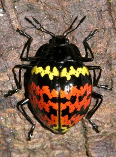 Erotylidae sp. Found in the Peruvian Amazon Pleasing Fungus Beetle by cowyeow, via Flickr