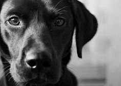 Labrador of the Seasons with Becky Williams – Its a Lab Thing   Dog   Puppy   Labrador Retriever   Pet Photography   Dogs   Puppies