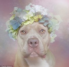 Movement: She also encourages pet owners to show their support for rescue dogs by posting pictures of their pets in flower crowns with the hashtag #PitBullFlowerPower. (Pictured: Sweetheart, from Sean Casey)