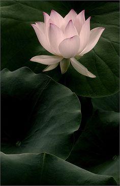 Lotus Flower Close-Up - Nice !