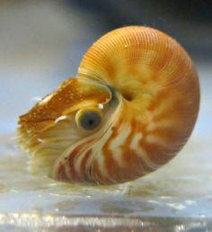 Baby Chambered Nautilus