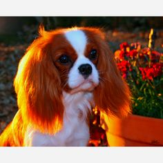 My dream puppy. Cavalier King Charles Spaniel.