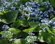 Brunnera macrophylla | Kaukasische vergeet mij niet | Vertrouwd online kopen!