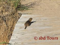 Striped Ground Squirrel at Empire Bluffs