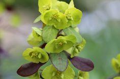 Wolfsmelk, ideale borderplant. Nattere grond: euphorbia polychroma, e.griffithii, e. Palustris