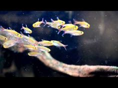 "Kopi av Hemigrammus sp. ""Tigre"" - YouTube"