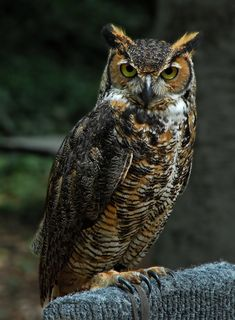 Great Horned Owl. Such cool eyes.                                                                                                                                                                                 More
