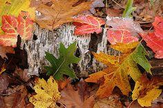 https://flic.kr/p/4dDaad | fallen birch and autumn leaves
