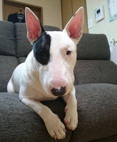 Image result for 犬 bull terrier 眠っている