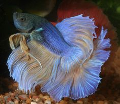 Magnificent Bettas | Details | Articles | TFH Magazine