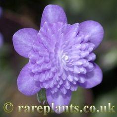 Hepatica japonica 'Shisensui' [Family: Ranunculaceae]