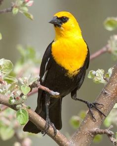 Yellow-headed Blackbird - Whatbird.com