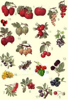cranberry of veenbes of Vaccinium macrocarpon, Terschelling
