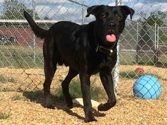 Labrador Retriever dog for Adoption in Augusta, GA. ADN-673557 on PuppyFinder.com Gender: Male. Age: Adult