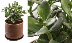 A Jade tem o seu charme especial, sua aparência lembra uma árvore em miniatura! É a planta ideal para quem tem paciência de esperar o florescimento.