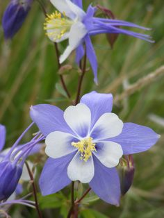 The official state flower of Colorado, the Columbine.