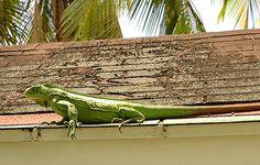Green Iguana - Dominica Animal Photo | Dominica Island: Photo Travel Guide