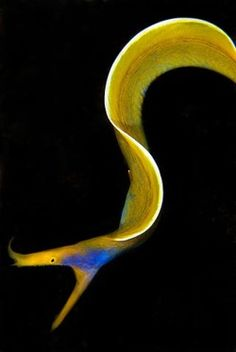 Ribbon Eel. Each individual starts out black & male. When they mature they turn bright blue & yellow & develop female sex organs. When they reach about 1.3m they start producing eggs