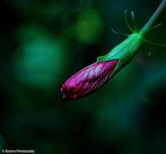 Pink Hibiscus Bud - Ajaytao