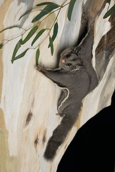 Glider Possum on Gumtree trunk (Eucalypt)