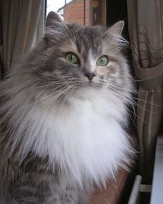 Are you looking for long-haired cat names? Here is a collection of best names for long-haired cats. Cute Cats And Dogs, Cool Cats, Cats And Kittens, Persian Kittens, Cats Bus, Pretty Cats, Beautiful Cats, Ragamuffin Cat, Best Cat Breeds