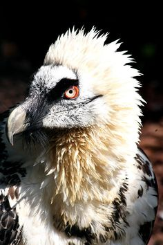 Awesome Vulture Portrait by Christiane Schulze Art And Photography Beautiful Birds, Animals Beautiful, Love Birds, Bird Pictures, Animal Pictures, Wild Nature, Exotic Birds, Birds Of Prey, Creature Design