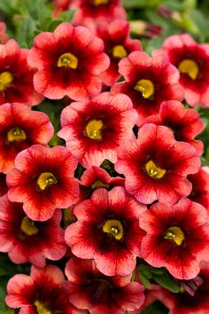 Superbells® Coralberry Punch - Calibrachoa hybrid - 4 Plants - 2 for each big black pot at sides of house.