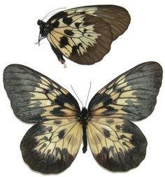 Idea tambusisiana hideo,  male A glorious and very rare Rice Paper Butterfly.
