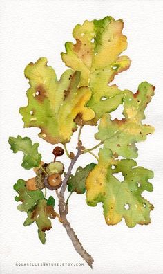 Acorns and oak leaves  original watercolor by AquarellesNature